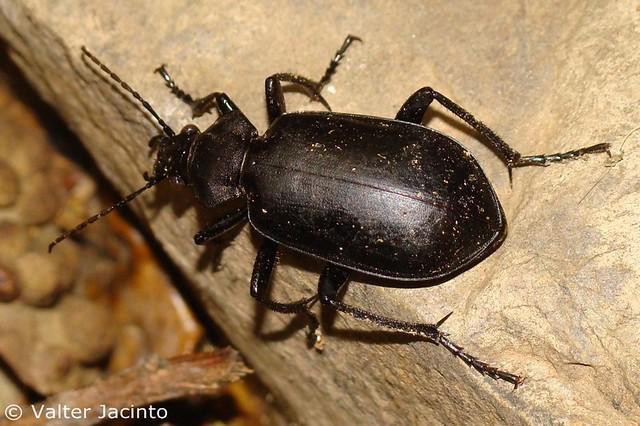 Escaravelho // Beetle (Calosoma maderae subsp. maderae) | Flickr ... Beetle