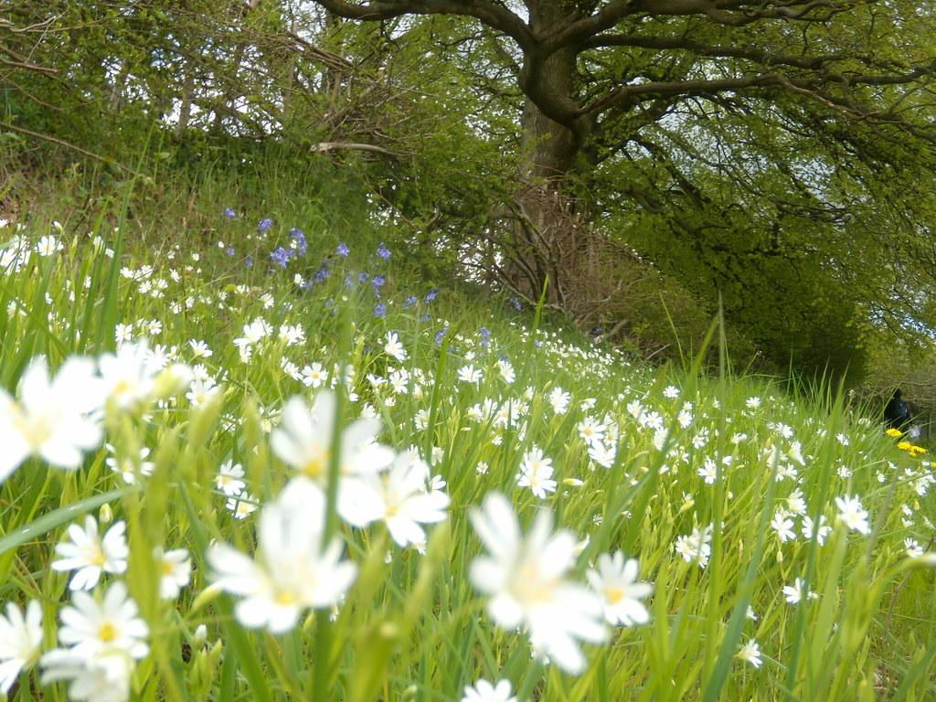 Stitchwort Hurst Green to Westerham