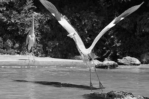 Thrilling short range shot of heron taking off
