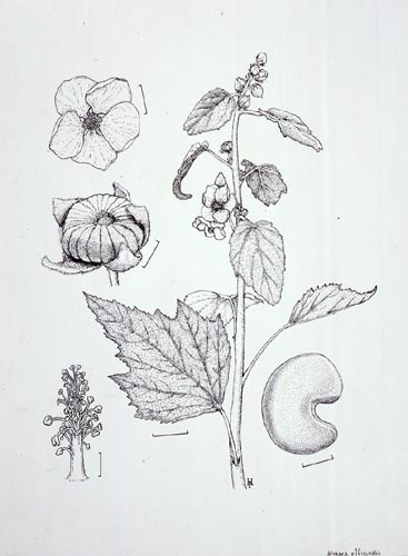 Paul Harwood, Althaea officinalis Pen and ink, 12/31/02 © Copyright Brooklyn Botanic Garden