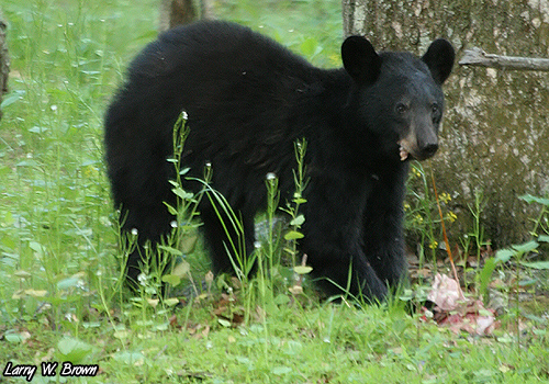 Young black bear eating a new fawn flickr photo sharing