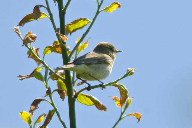 Willow Warbler (Phylloscopus trochilus) in a Tree at Bempton Cliffs (Cropped Version)