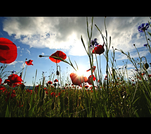 summer sky flower nature clouds schweiz switzerland sommer meadow wiese himmel wolken wideangle explore poppy blume 2010 mohn weitwinkel flickrexplore explored sonyalpha200 tamron1024mm tamron1024mmf3545diiildsp