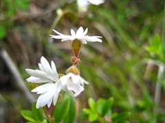 Small flowered Prairie Star