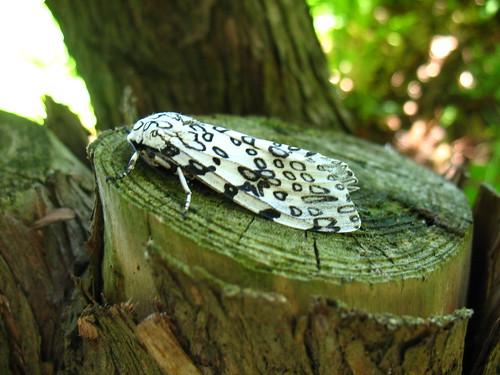 Giant Leopard Moth, Ecpantheria scribonia