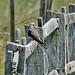076 Cuckoos