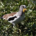 White-crowned Lapwing, Vanellus albiceps, Witkopkiewiet