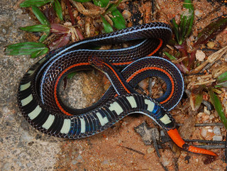 Red-tailed coral snake (Calliophis intestinalis), defensive display