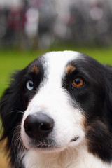 appenzeller sennenhund(0.0), stabyhoun(0.0), drentse patrijshond(0.0), entlebucher mountain dog(0.0), australian shepherd(0.0), border collie(1.0), dog breed(1.0), animal(1.0), kooikerhondje(1.0), dog(1.0), pet(1.0), greater swiss mountain dog(1.0), miniature australian shepherd(1.0), carnivoran(1.0),