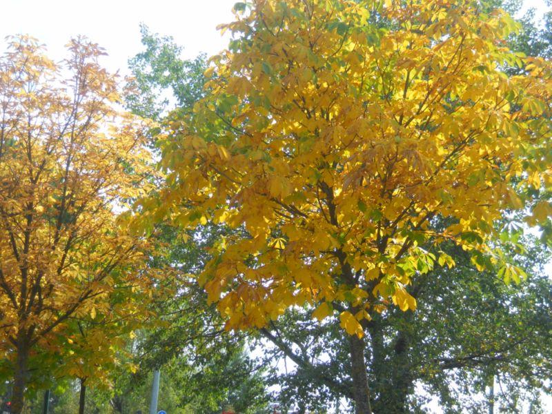 Castaño de indias en otoño 2