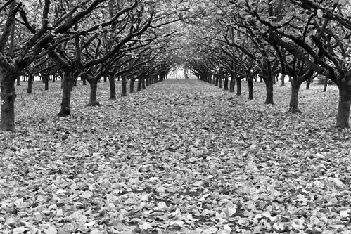 autumn trees white black tree fall leaves oregon season landscape ian photography grove farm dramatic tunnel row rows chamber agriculture gervais sane concomly