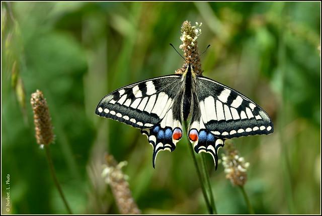 N° 770 / le Machaon ou Grand porte-queue ( Papilio machaon ) Focus Distance - 1.68 m
