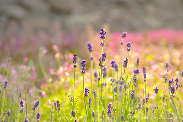農紫早咲@ある駅の花壇