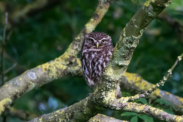 Little Owl, Canon EOS 100D, Sigma 150-600mm f/5-6.3 DG OS HSM   C