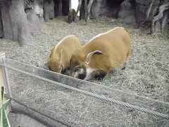 Two red river hogs with big ears