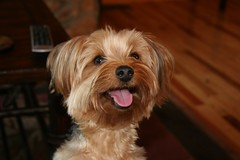 dog breed, animal, dog, schnoodle, pet, australian silky terrier, poodle crossbreed, havanese, morkie, australian terrier, cockapoo, cavapoo, carnivoran, yorkshire terrier, terrier,
