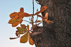 Several dried autumn leaves on tree knot