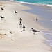 Birds on the beach - Shell Island, Florida