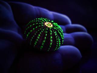 Voodoo Urchin...