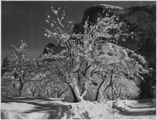 "Trees with snow on branches, ""Half Dome, Apple Orchard, Yosemite,"" California. April 1933."