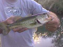 northern pike(0.0), trout(0.0), perch(0.0), cod(0.0), milkfish(0.0), animal(1.0), bass(1.0), fish(1.0), fish(1.0), recreational fishing(1.0), barramundi(1.0),