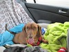 Doxie roadtrip