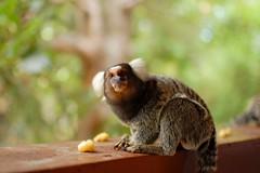 animal, nature, mammal, fauna, marmoset, new world monkey,