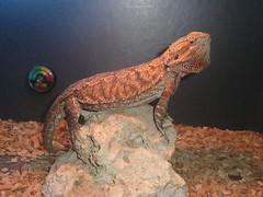 velociraptor(0.0), agama(1.0), animal(1.0), reptile(1.0), lizard(1.0), fauna(1.0), scaled reptile(1.0),