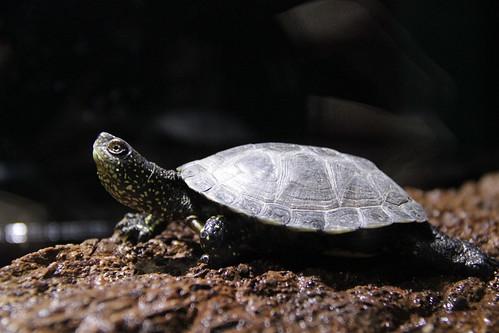 tortuga europea