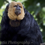White-faced Saki Monkey - Pithecia pithecia (DSC_0017)
