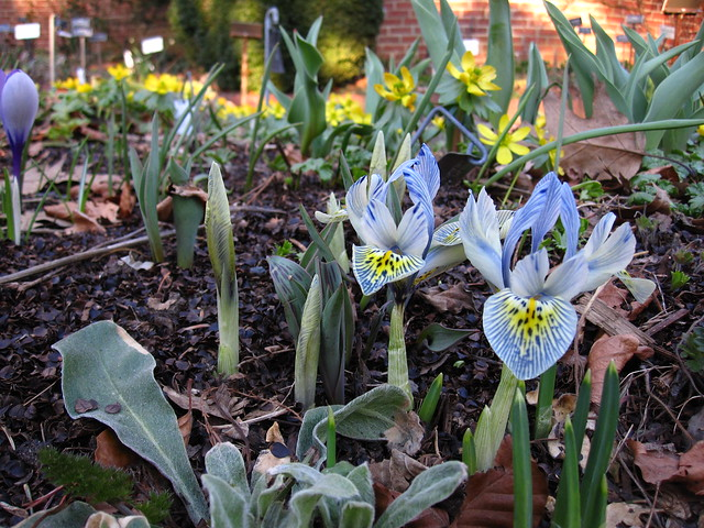 Dwarf Iris bloom in the Shakespeare Garden
