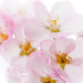 pink cherry blossoms by aliciagriffin