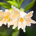 largeflower bush monkeyflower - Photo (c) Ken-ichi Ueda, some rights reserved (CC BY-NC-SA)