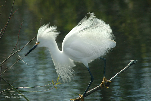 Snowy Egret's Balancing Act at Shark Valley