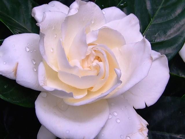 RUBIACEAE - Fortune´s Cape Jasmine (Gardenia jasminoides var. fortuniana)