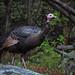 Worried Turkey by bowtoo