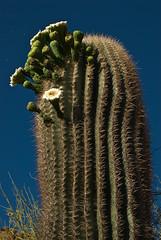 Saguaro Cactus (Carnegiea gigantea)