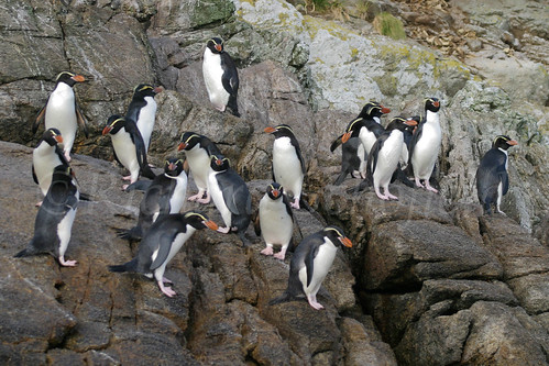 Snares Crested Penguins 11209 by Clutha Photos