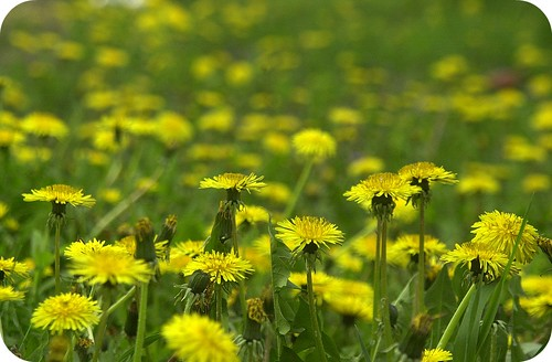 fields of dandelions