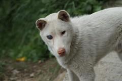 arctic fox(0.0), west siberian laika(0.0), czechoslovakian wolfdog(0.0), gray wolf(0.0), siberian husky(0.0), canaan dog(0.0), shikoku(0.0), east siberian laika(0.0), greenland dog(0.0), korean jindo dog(0.0), wolfdog(0.0), saarloos wolfdog(0.0), dog breed(1.0), animal(1.0), dog(1.0), pet(1.0), street dog(1.0), mammal(1.0), kishu(1.0),