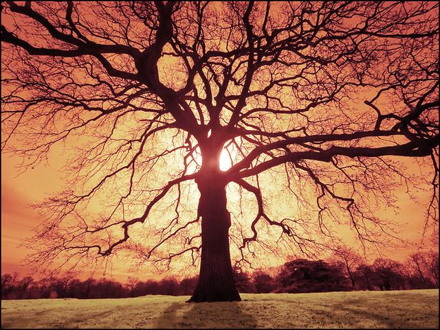 2310 Oak Tree