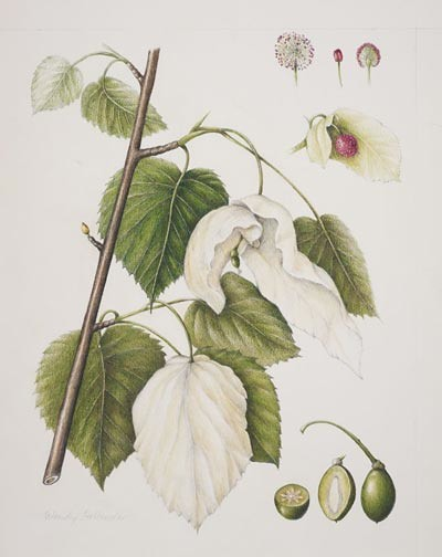 "Davidia involucrata by Wendy Hollender, 2006.  Colored pencil and watercolor on Arches hot press, 14"" × 11"". © Copyright Brooklyn Botanic Garden"
