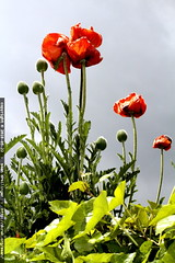 red poppy flowers under a cloudy sky