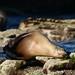 Flickr photo 'California Sea Lion (Zalophus californianus)' by: bayucca.