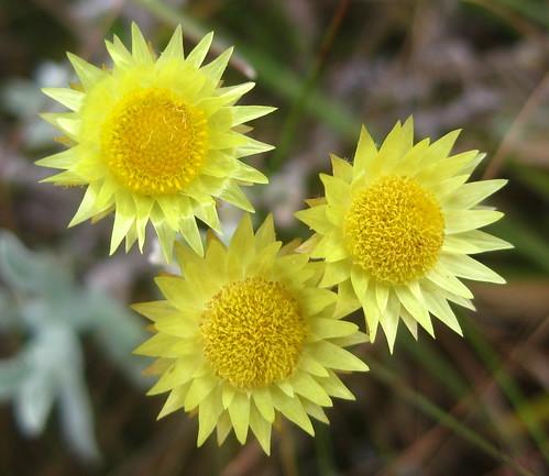Plante au curry helichrysum italicum for Plante 5 doigts bahamas