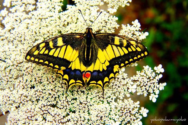 MACAONE..Papilio machaon-Farfalle di Sardegna