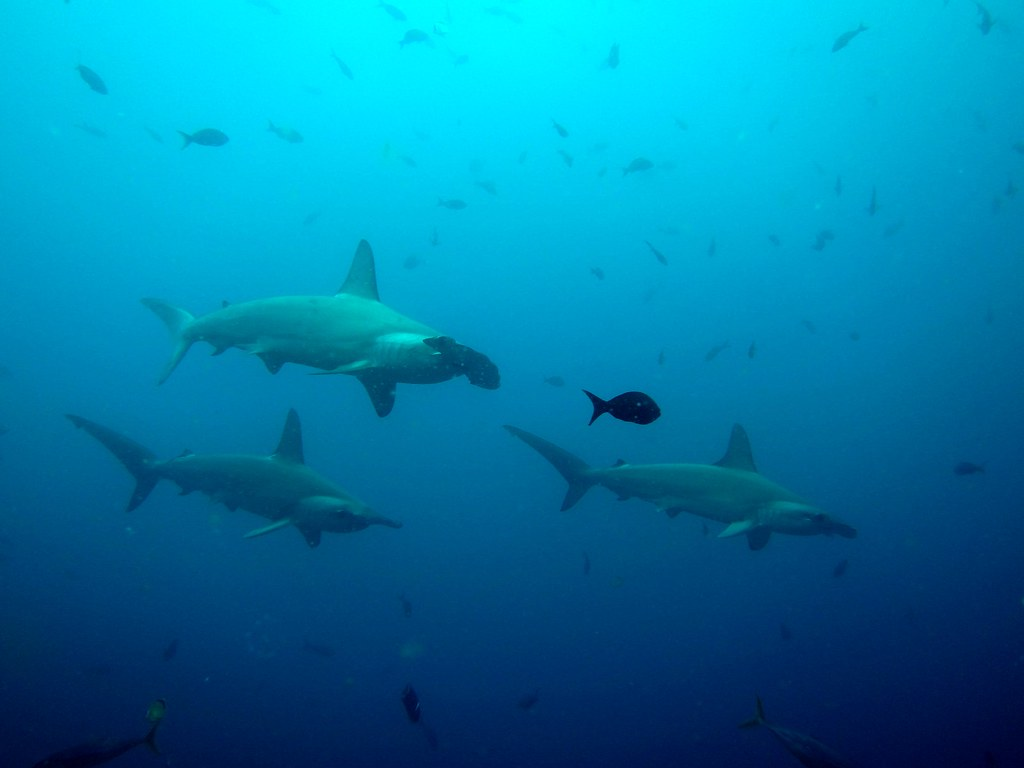 This is why I love diving in the Galapagos!