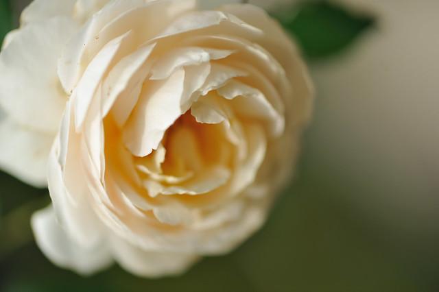 Rose  'Rose Marie'