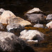 Small photo of American Dipper