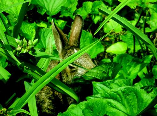 rabbit in the wild flower garden
